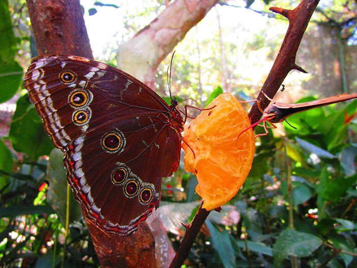Una de las muchísimas especies de mariposas que crían en el centro