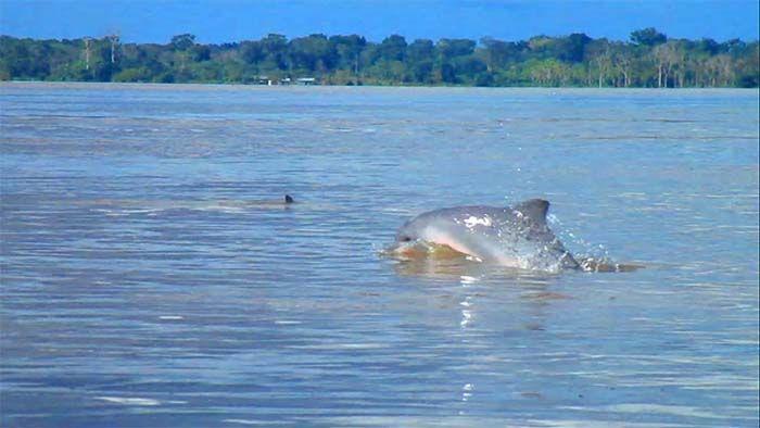 Delfín del Amazonas