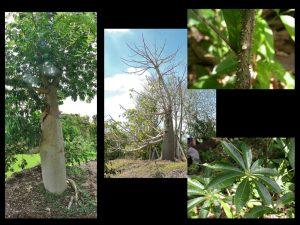 Yacaratia  albero commestibile
