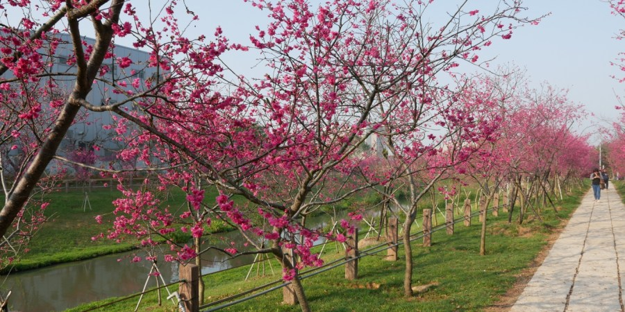 20190228櫻花公園