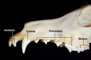 Dental Anatomy of Dogs