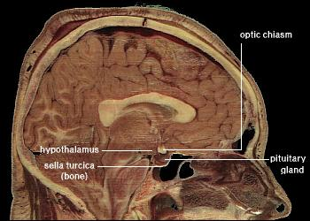 Functional Anatomy Of The Hypothalamus And Pituitary Gland