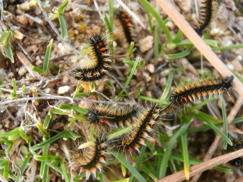 Orugas de Chondrostega vandalicia (Lepidoptera, Lasiocampidae)