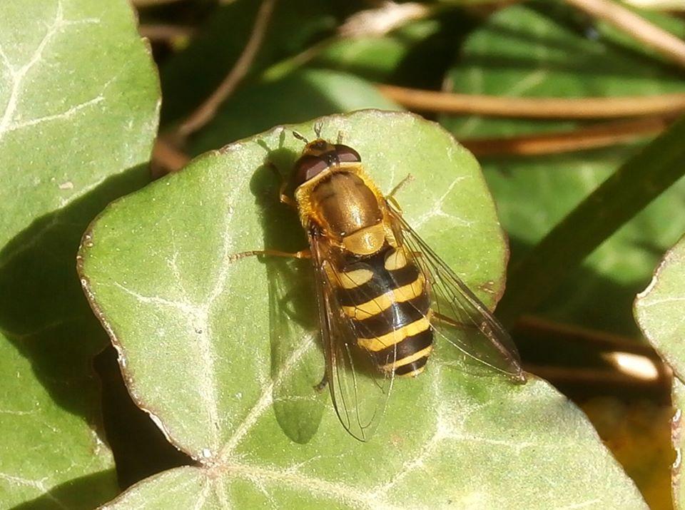 Syrphus sp. (Diptera, Syrphidae)