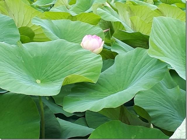 5 - Etang Fontmerle Lotus