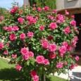 La taille principale des rosiers s'effectue à la sortie de l'hiver, en février ou mars […]