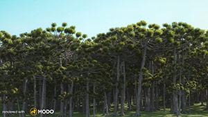 Araucaria - Brazilian Pine