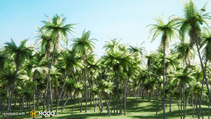 Cocos Nucifera - Coconut Palm