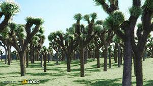 Yucca Brevifolia - Joshua Tree