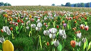 Tulips - Tulip Flower