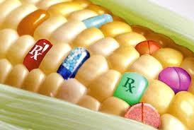 Minh họa của ngô biến đổi gien. Nguồn: www.foodylife.com
