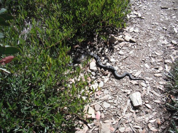 Red Bellied Black snake on the track.