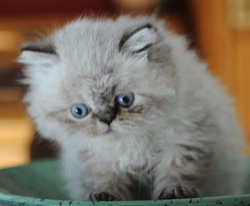 kittens Dushinka x Pedro (2)