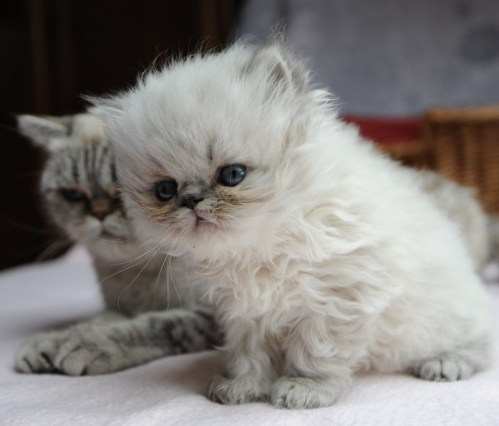 kittens Dushinka x Pedro (7)