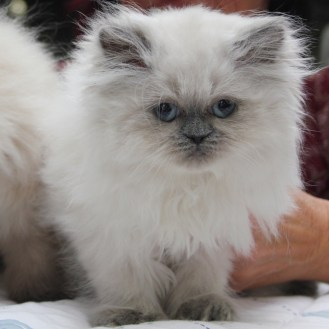 kittens Isaura x Pedro (2)