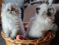 kittens Isaura x Pedro