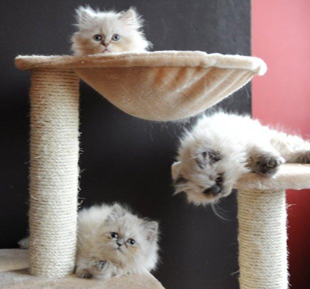 kittens Isaura
