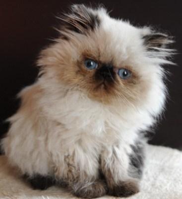 kittens Manja x Pedro 16