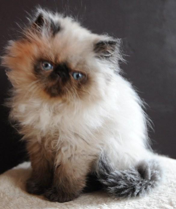 kittens Manja x Pedro