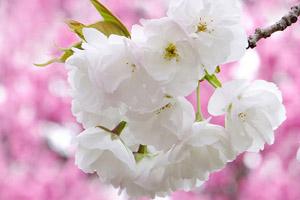, Hanami :: 花見 (Cherry Blossom Viewing), VNCS