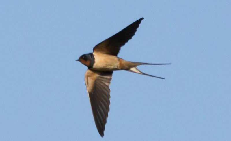 Telpost Oetersloven: de boerenzwaluw in 2019