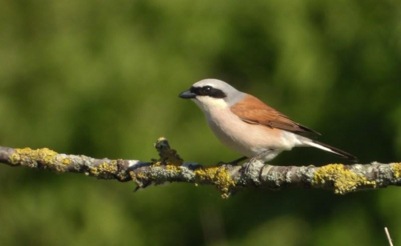 Zeldzame broedvogels bij onze Noorderburen