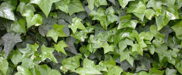 Борьба с плющом на огороде Как вывести плющ с огорода