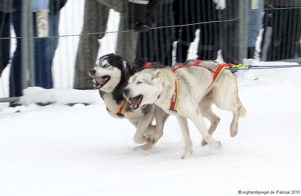 Schlittenhunderennen in Hammerbrücke