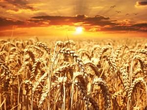 Weizenfeld mit Weizenähren