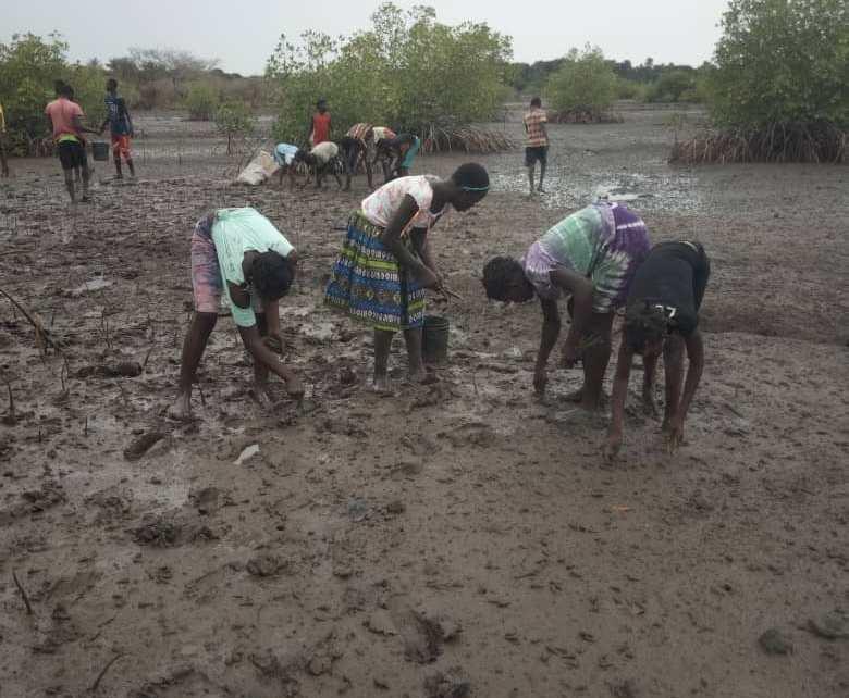 Gambian mangrove planting