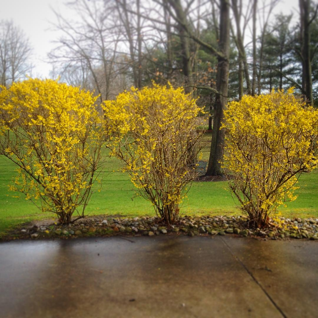 The three Forsythia sisters (Beatrice, Eunice, and Lois) live next to the patio. Every spring they hang up their bright yellow curtains for us to enjoy. #forsythia #voiceministries #voiceministriescamp #spring