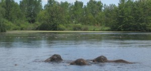 three adult elephants with only their heads above water as they swim