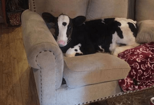 black and white calf curled up on a cream coloured couch