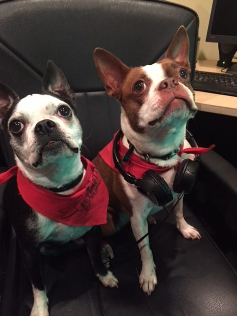 Bella and Pickles, Boston Terriers. Pickles has headphones around his neck.