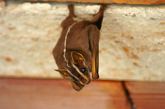 brown bat laying down, looking up at the camera