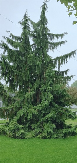 tall evergreen looks like its branches are outstretched arms with big, loose sleeves