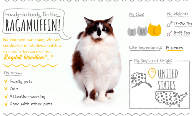 Ragamuffin description: calm, attention-seeking, good with other pets. Large size. Life expectancy 15 years.