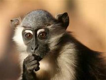Closeup of a monkey looking pensive, with this hand up to his chin.