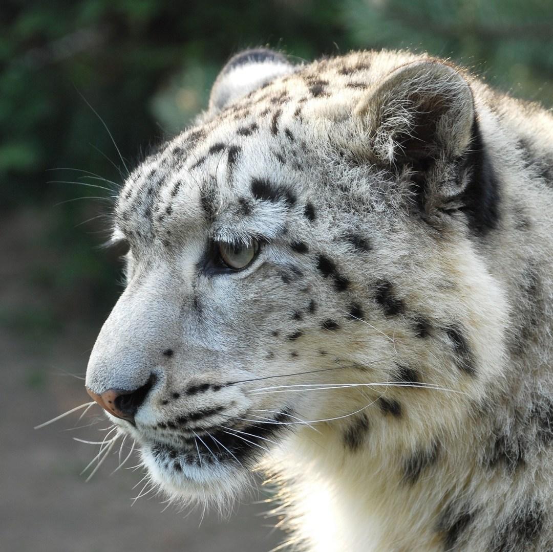 Snow Leopard, Annapurna, Nepal