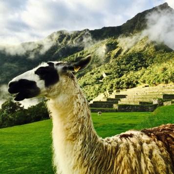 Llama, Machu Picchu, Peru