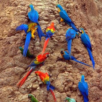 Parrots at a clay lick- Tambopata National Reserve, Puerto Maldonado