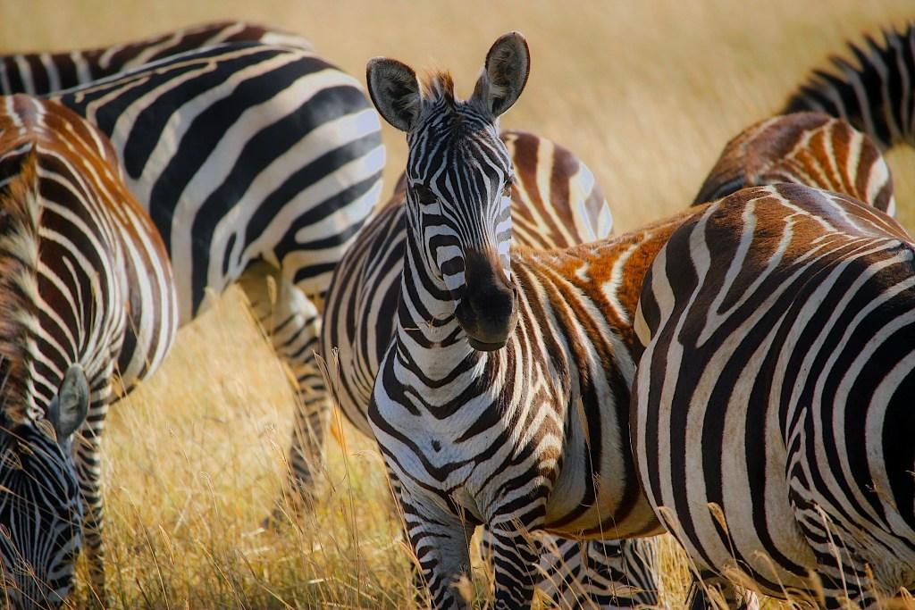 Zebra Herd, Safari