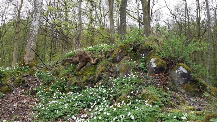 The basalt pile was covered with flowering Wood Anemones. The arrow points to a patch of purplish anemones, discoloured by the presence of copper in the soil. (Photo: Shérine France)