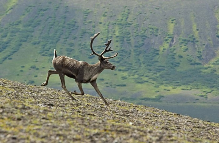 A late descendant to the ill fated Caribou in my narration. One should remember that the area is inundated by Caribou, so quite a lot of them was most likely killed by both the explosion and the tsunami that followed.