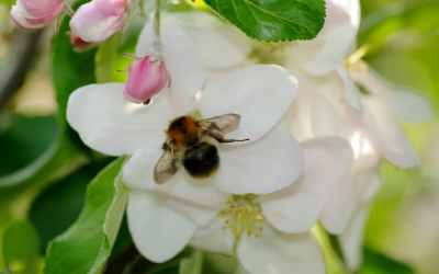 Die häufigsten Wildbienen-Arten Vorarlbergs