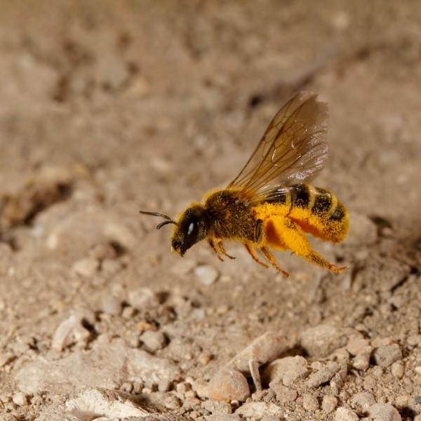 Die häufigsten Wildbienen-Arten Vorarlbergs 6