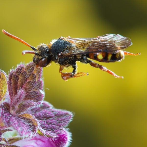 Die häufigsten Wildbienen-Arten Vorarlbergs 5