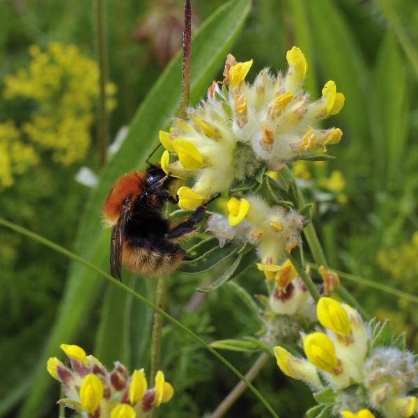 Die häufigsten Wildbienen-Arten Vorarlbergs 1