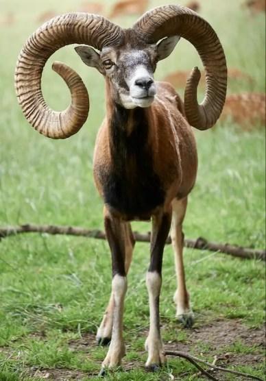 SEL55210 Tierfotografie Ziegenbock