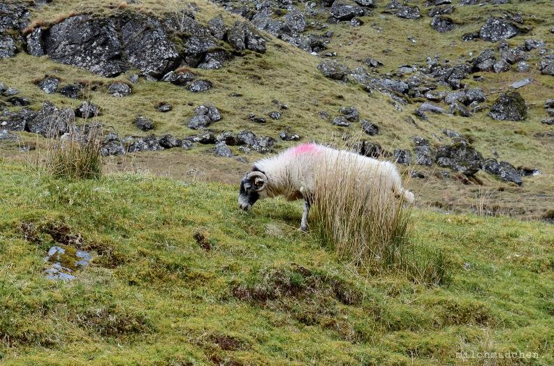 Schaf in den Highlands | milchmädchen.